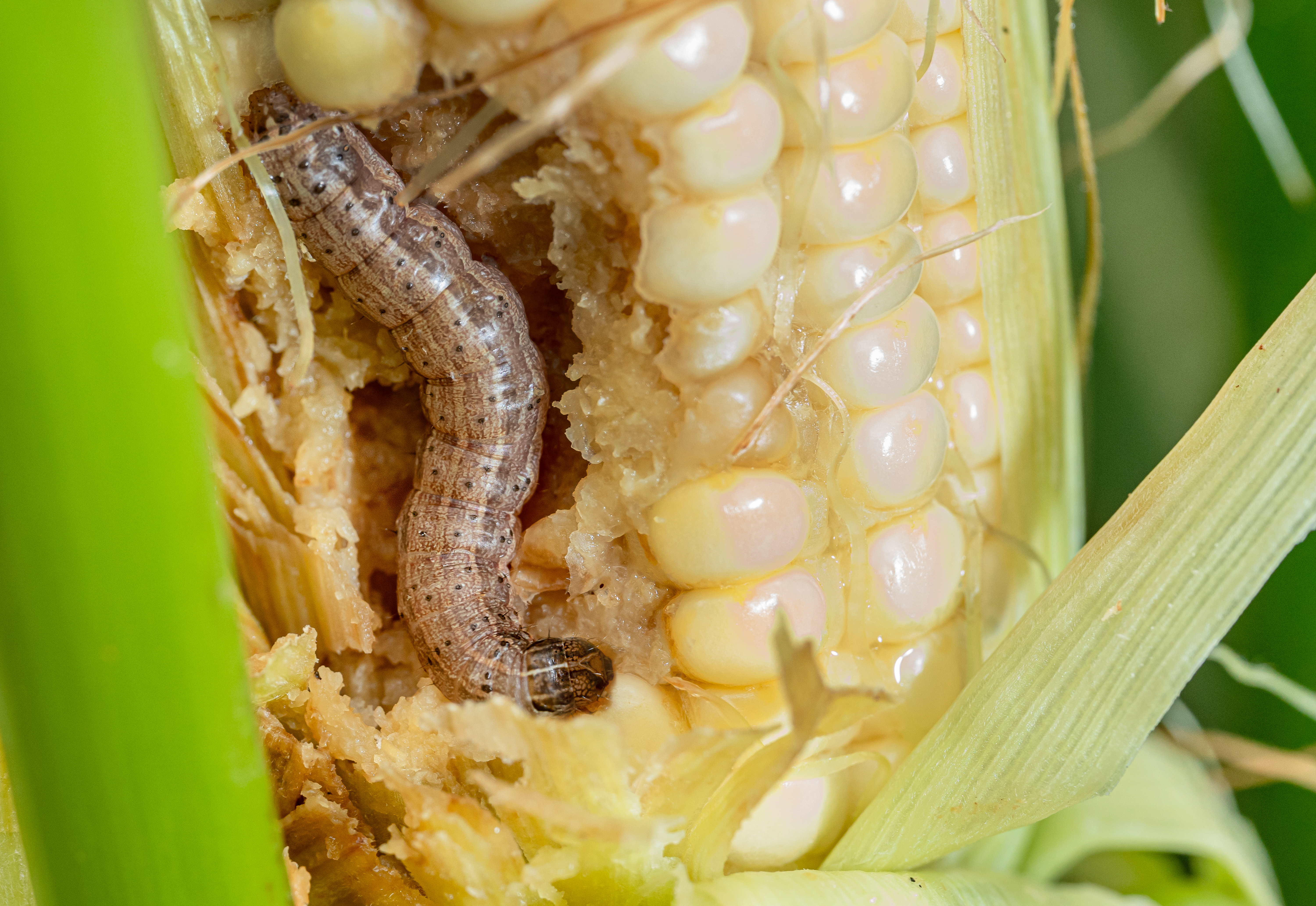 Fall armyworm on damaged corn with excrement.